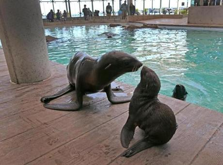 Kit, the baby northern fur seal, was inspected by her mother, Ursula, left, at the aquarium.