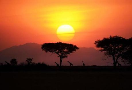 Red and orange hues of the dusk hours painted the African savannah as a herd of giraffes retired for the night along the outskirts of Serengeti National Park in Tanzania.