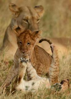 Liion cubs frolicked under the watchful eye of their mother after they had their fill with a warthog caught by the doting lioness.