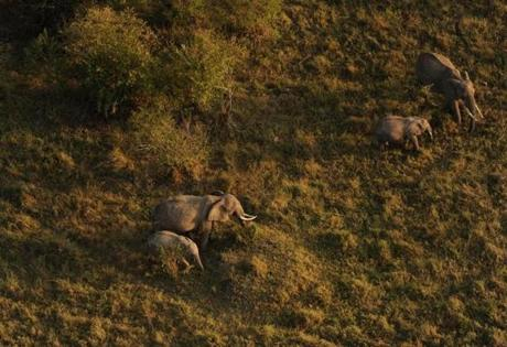 An aerial view from a hot-air balloon showed female elephants grazing alongside their calves at the Masai Mara Natural Reserve during the early morning hours.