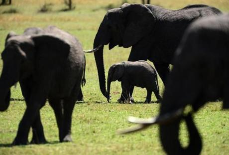 Adult female elephants grazed alongside calves at the Masai Mara Natural Reserve during their mid-day foraging.