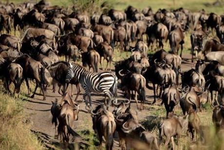 A zebra among hundreds of wildebeest is not an uncommon sight near the Grumeti River in Tanzania.