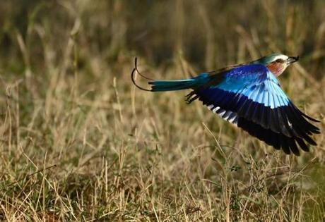 An adult lilac breasted roller flew back to his perch after having caught an insect crawling on the grass at the Mara Triangle area in Kenya.