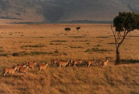 A heard of eland antelopes grazed on the African savanna at the Masai Mara Reserve. The eland is one of the few game animals the Masai tribesman will eat. According to locals, the eland's meat has similar taste to cattle meat.