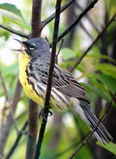 "Another bird spotted during Hayward's ""big year"" was a Kirtland's Warbler in Grayling, Mich."