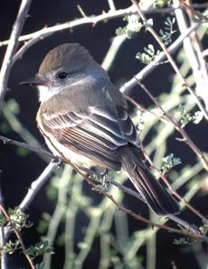 This Nutting's Flycatcher was spotted at the Bill Williams River National Wildlife Refuge in Arizona, Hayward said.