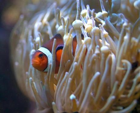Anemone create protective areas for clownfish at the New England Aquarium, away from predators so they can court.