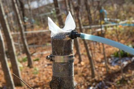 The experimental extraction method involves vacuuming sap from the trunk of a decapitated maple sapling.