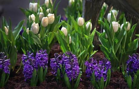 BOSTON, MA - 3/11/2014: Blue Hyacinth with white Tulips at the Boston Flower and Garden Show at the Seaport World Trade Center, Romance in the Garden opens March 12-16. (David L Ryan/Globe Staff Photo) SECTION: METRO TOPIC stand alone photo