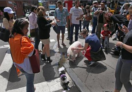 BOSTON, MA - 5/20/2014: Gots lots of attention....BOBBY the pig went for a stroll today with his owners James Therien and Ryan Peterson both of Boston on the Freedom Trail on Hanover Street in the North End. (David L Ryan/Globe Staff Photo) SECTION: METRO TOPIC stand alone photo
