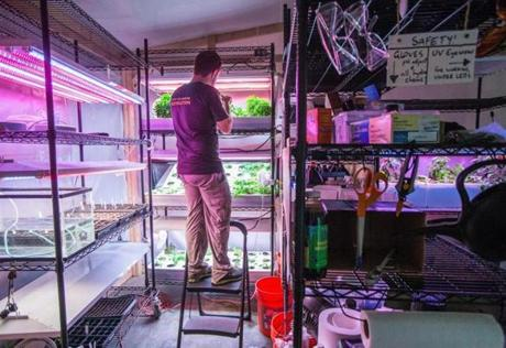 08/22/2014 SOMERVILLE, MA Aquaponics engineer Tim Day (cq) of Grove Labs (cq) works with a shallow water hydroponics system at Greentown Labs (cq) in Somerville. (Aram Boghosian for The Boston Globe)