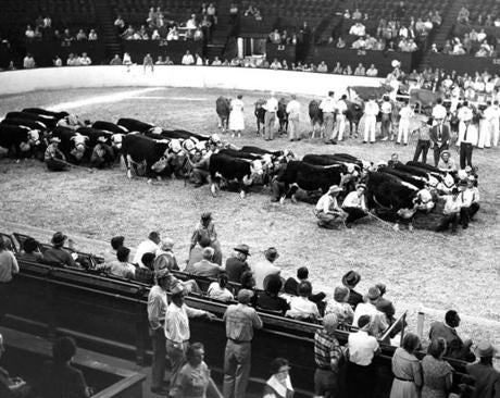 September 14 1960 / fromthearchive / Boston Globe Archive photo / The Eastern States Exposition livestock show, largest in the eastern United States, annually showcased more then 3500 head of championship-quality dairy cattle, beef cattle and sheep in competition for $30,0000 in prize money.
