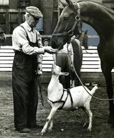 October 12 1938 / fromthearchive / Boston Globe Archive photo / Billy the Goat, mascot of the mounted police attached to the Back Bay Station was back in the stable with George Lawes, his stable attendant, after he was rescued in traffic. Billy went AWOL during a horse training exercise at the Commonwealth Armory and was rescued by a Brookline woman who put him in a taxicab and took him home until she could locate his rightful owners.