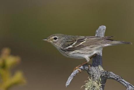 A breeding female blackpoll warbler.