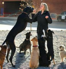 Katherine Heatley with great Dane Titan and other dogs she exercises at the Channel Center Dog Park.