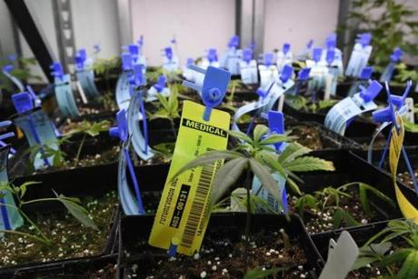 Young marijuana plants were tagged with the genetic history of each plant at the Medicine Man marijuana dispensary in Denver.