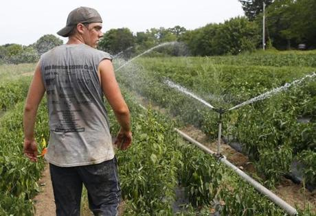 Kinsman inspected the sprinkler heads on the irrigation pipes after connecting the line in a bed of peppers at Red Fire Farm.