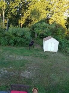 Conti said after about 10 minutes, the moose sauntered toward the back of the property and into the woods.