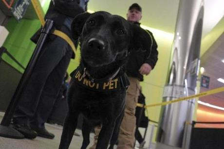 At Logan's Terminal C during Thanksgiving week, handler Sid Jackson works with Labrador retriever Jazz, a member of TSA's K-9 unit, trained to sniff out trace explosives.