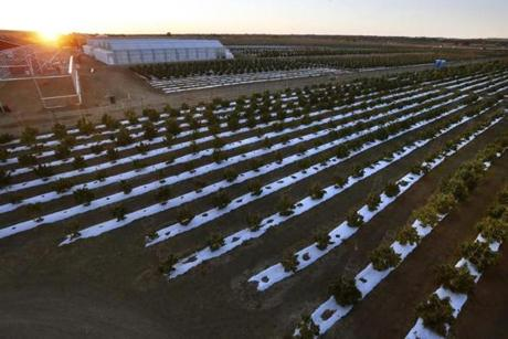 In this Oct. 10, 2016 photo, the sun rises over Los Suenos Farms, America's largest legal open air marijuana farm, in Avondale, southern Colo. The harvest occurs at a time when marijuana is coming back into the spotlight in the city and county of Pueblo, where Avondale is located. If two ballot measures are approved on Nov. 8, they could impact growers like Los Suenos. (AP Photo/Brennan Linsley)
