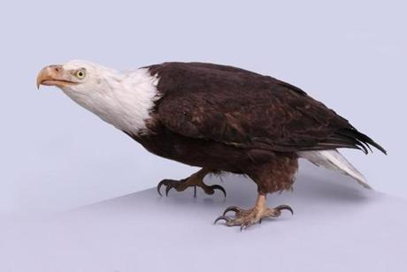 A bald eagle prepared by Charles Willson Peale.